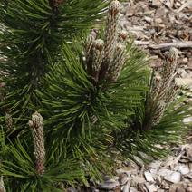 Pinus heldreichii 'Dolce Dorme' (P. leucodermis 'Dolce Dorme')