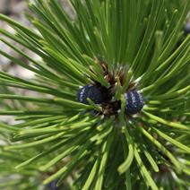Pinus heldreichii 'Satelit' (P. leucodermis 'Satelit')