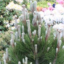 Pinus heldreichii 'Compact Gem' (P. leucodermis 'Compact Gem')