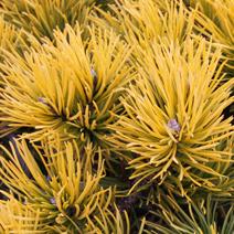Pinus mugo 'Carsten' (syn. P. mugo 'Carsten's Wintergold')