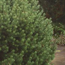 Pinus mugo 'Gnom'