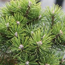 Pinus mugo 'Kobold'