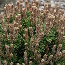 Pinus mugo 'Kostelnicek'
