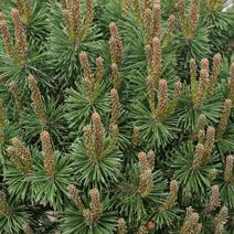 Pinus mugo 'Litomyśl'