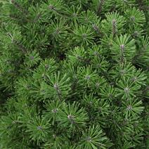 Pinus mugo 'Little Lady' (P. mugo 'Fructata')