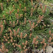 Pinus mugo 'Paradakissen'