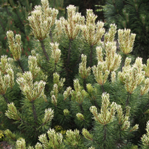 Pinus mugo 'Sunshine'