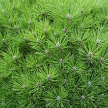 Pinus nigra 'Bambino' (P. n. 'Gaelle Bregeon')