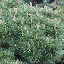 Pinus nigra 'Brepo' (P. n. 'Pierrick Bregeon')