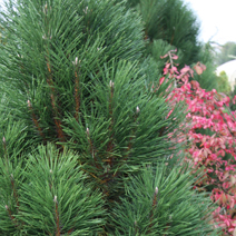 Pinus nigra 'Caprice'
