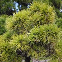 Pinus nigra 'Moseri'