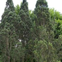 Pinus nigra subsp. pallasiana var. fastigiata