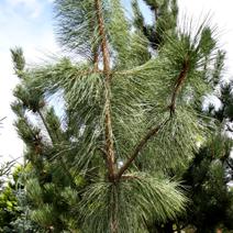 Pinus ponderosa 'Penaz'