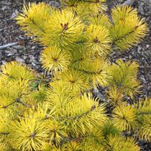 Pinus sylvestris 'Meffengowd'