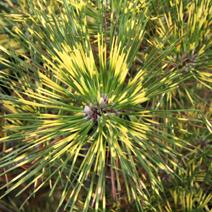 Pinus thunbergii 'Beni-kujaku' (P. x densithunbergii 'Beni-kujaku')