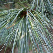 Pinus wallichiana 'Zebrina'