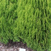 Platycladus orientalis 'Aurea Nana' (Thuja or. 'Aurea Nana')