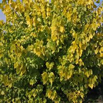 Populus × canadensis 'Serotina Aurea'