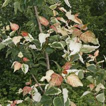 Populus candicans 'Aurora'