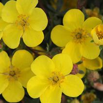 Potentilla fruticosa 'Dart's Golddigger'
