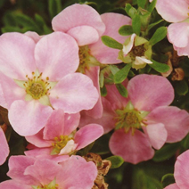 Potentilla fruticosa 'Lovely Pink' ® PBR (P. f. 'Pink Beauty')