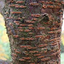 Prunus maximowiczii