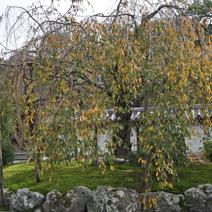 Prunus 'Kiku-shidare-zakura' (P. serrulata 'Kiku-shidare')