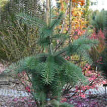 Pseudotsuga menziesii 'Graceful Grace'