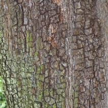 Pyrus elaeagnifolia var. kotschyana
