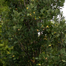 Quercus petraea 'Eastcolumn'