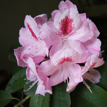 Rhododendron hybridum 'Furnivall's Daughter'