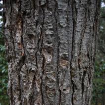 Abies ernesti (A. recurvata var. ernestii)
