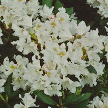 Rhododendron caucasicum 'Cunningham`s White'