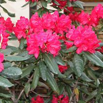 Rhododendron hybridum 'Hachmann's Feuerschein'