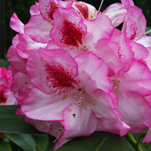 Rhododendron hybridum 'Hachmann's Charmant'
