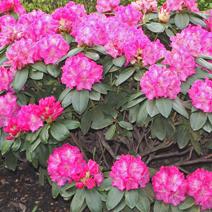 Rhododendron hybridum 'Johannes Rau'