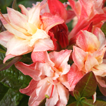 Rhododendron  (Knaphill-Exbury) 'Cannon`s Double'