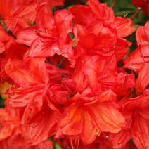 Rhododendron  (Knaphill-Exbury) 'Feuerwerk'