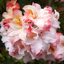 Rhododendron  (Knaphill-Exbury) 'Jack A.Sand'
