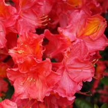 Rhododendron  (Knaphill-Exbury) 'Juanita'
