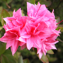 Rhododendron  (Knaphill-Exbury) 'Kilian'