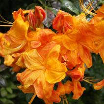 Rhododendron  mollis 'Klondyke'