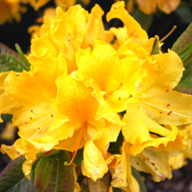Rhododendron  (Knaphill-Exbury) 'Limetta'