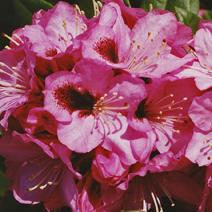 Rhododendron hybridum 'Kokardia'