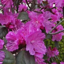 Zdj. nr 2;Rhododendron carolinianum 'P.J.M.Elite'