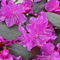 Rhododendron carolinianum 'P.J.M.Elite'