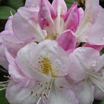 Rhododendron catawbiense 'John Waterer'