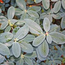 Rhododendron cinnabarinum supsp. xanthocodon