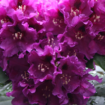 Rhododendron hybridum 'Rasputin'