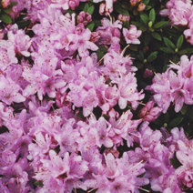 Rhododendron impeditum 'Buchlovice'